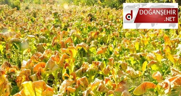 Fındık Mahallesinde Yanan Tütünlerden Dolayı Üretici Zarar Etti (Videolu -Özel Haber)
