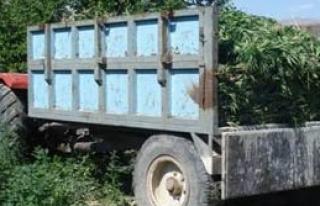 Doğanşehir de 273 kök kenevir bitkisi ele geçirildi